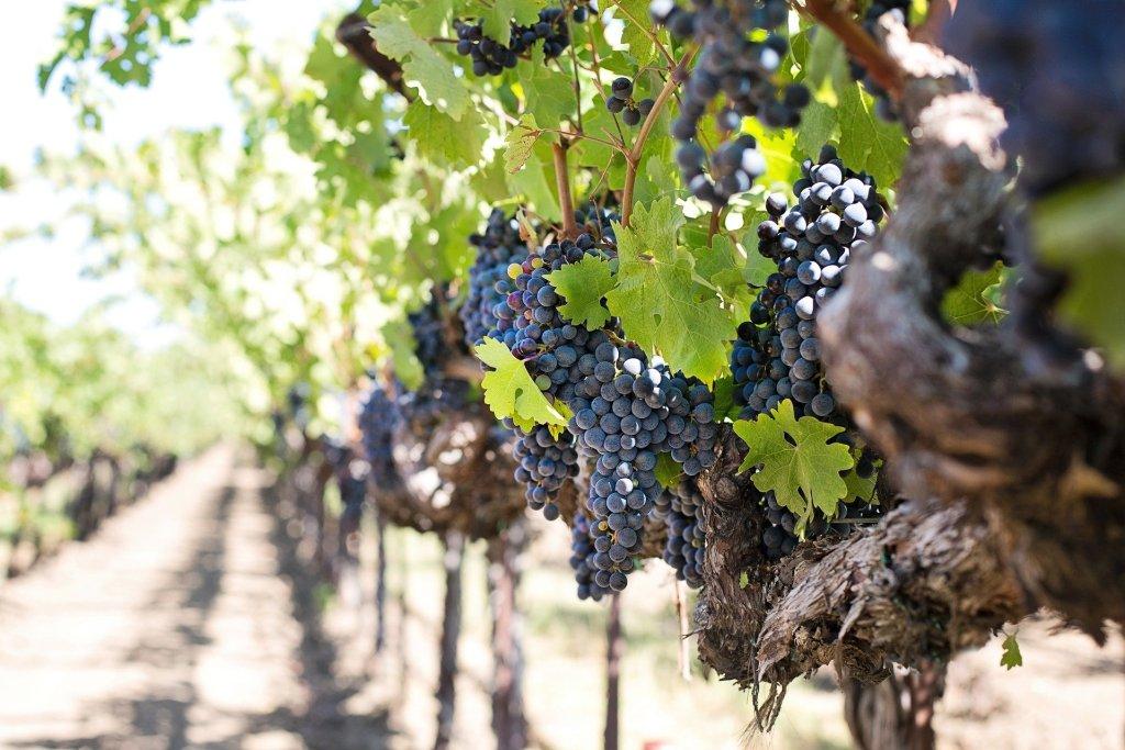Castille y Leon wine grapes
