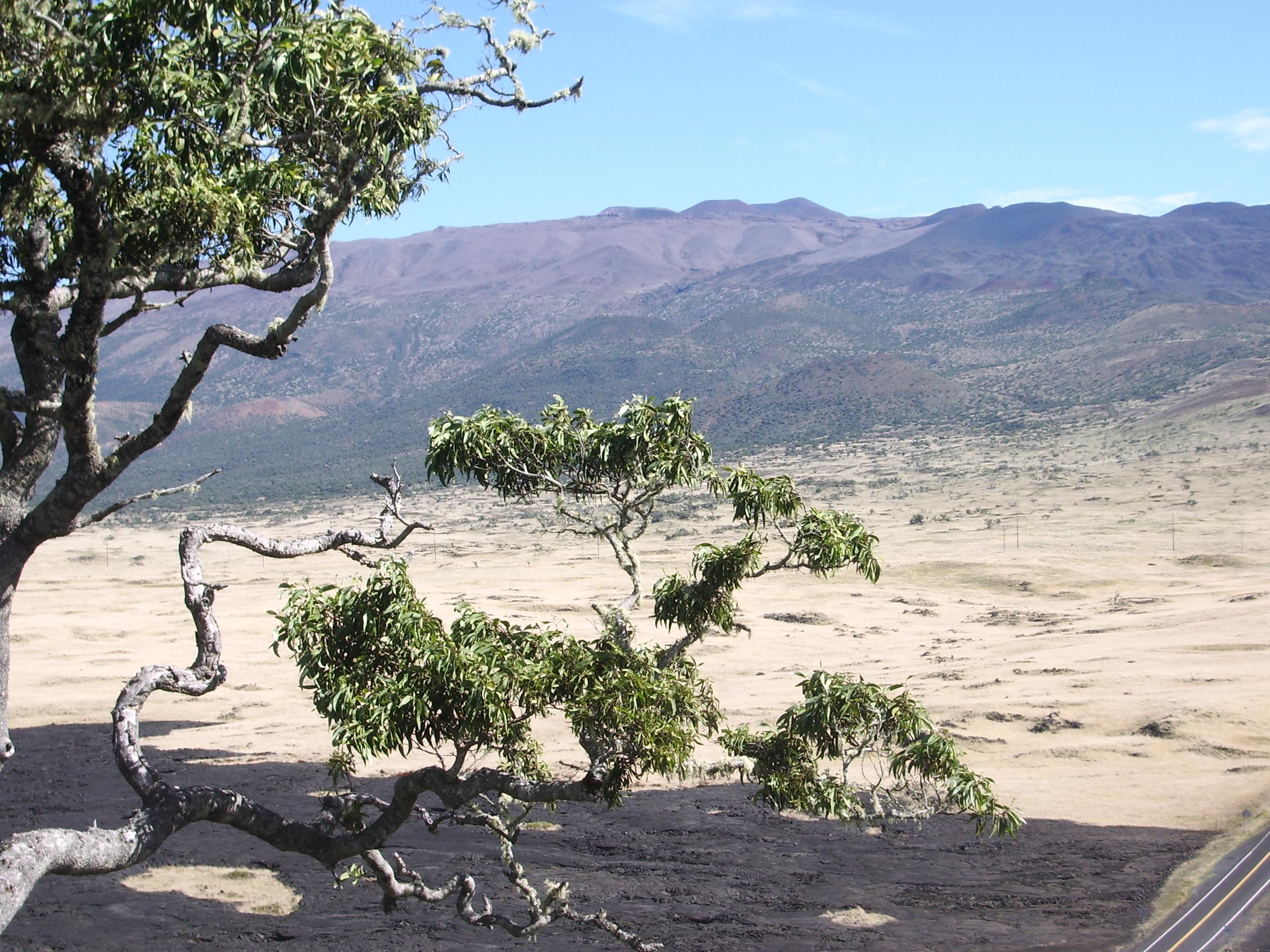 Mauna Kea From Kipuka Huluhulu Nene Sanctuary: Photo by Donald MacGowan