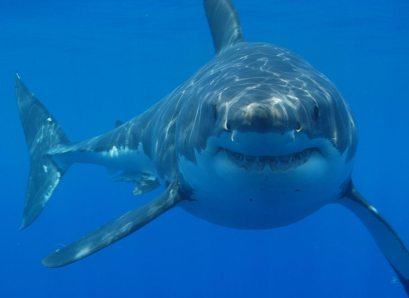Shark in Lawyer's Office