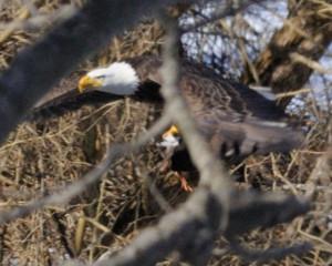 Eagle - Mish, Feb 2016