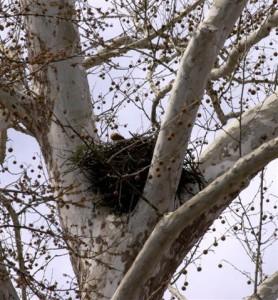 Hawk Nest - Mish, Feb 2016