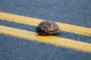 Eastern Box Turtle on highway