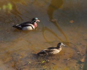 mish-wood-ducks-on-water-oct-2016