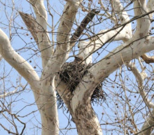 mish - great horned in red tail nest