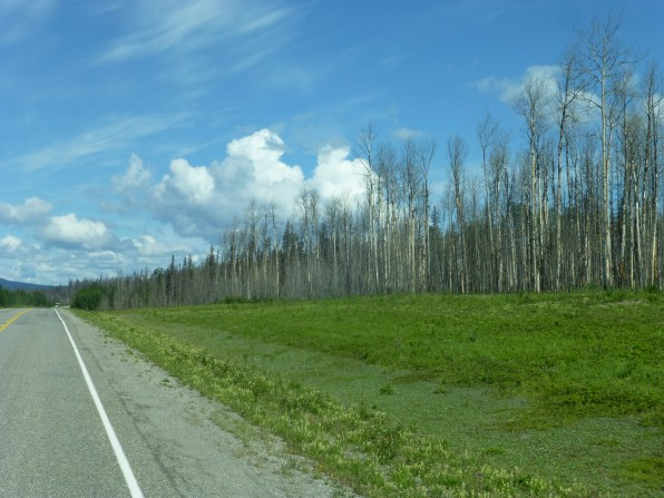 Dead trees on the highway