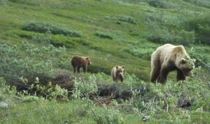 Grizzly bear and cubs.
