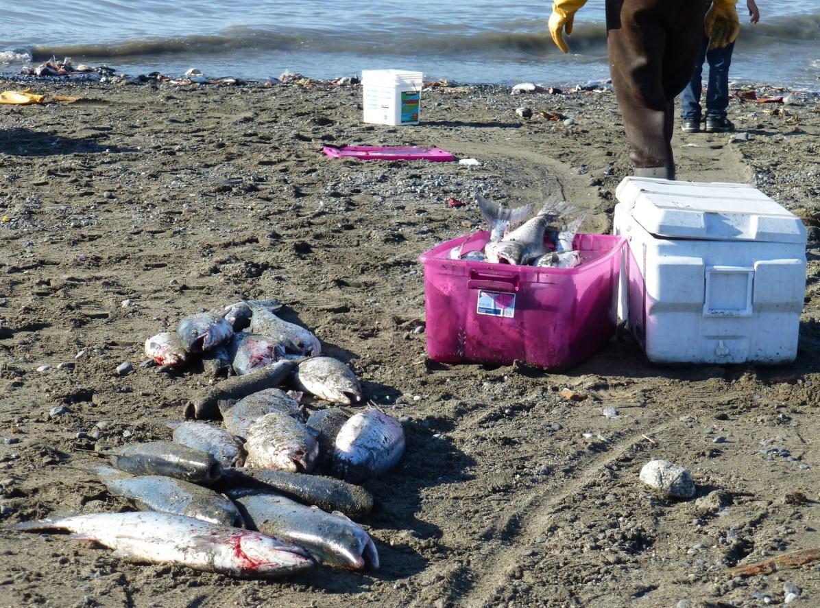 The catch, Sockeye Salmon