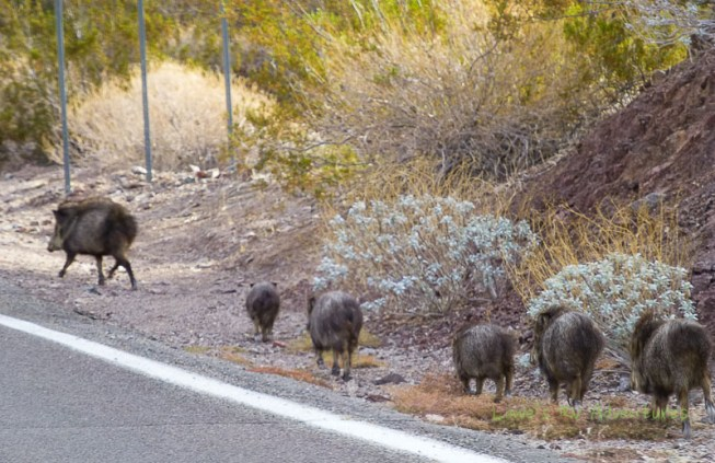 A herd of Javelina