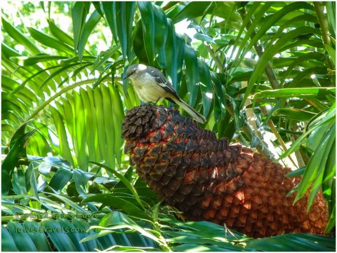 Cycad Cone (with cute fat birdie on top)