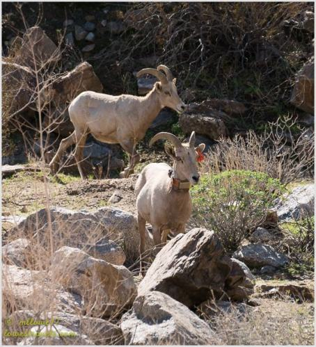 A couple of bighorn sheep