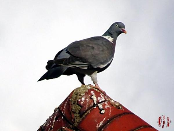 Close up of a pigeon on the apex of the roof of the Drill Hall in Horsham looking both mad and evil