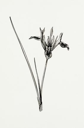 Iris pumila by Graham Stuart Thomas at Royal Horticultural
