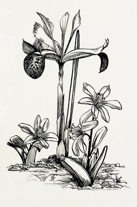Iris histrio and Scilla mischtschenkoana by Graham Stuart