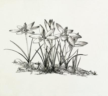 Crocus tomasinianus by Thomas, Graham Stuart (1909-2003