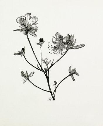 Rhododendron dauricum by Graham Stuart Thomas at Royal