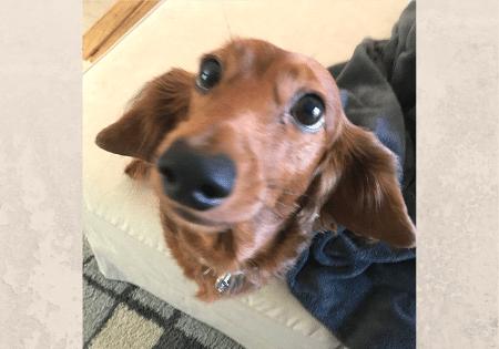 Adoptable Dog Opie