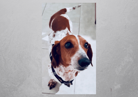 Adoptable dachshund Sonny