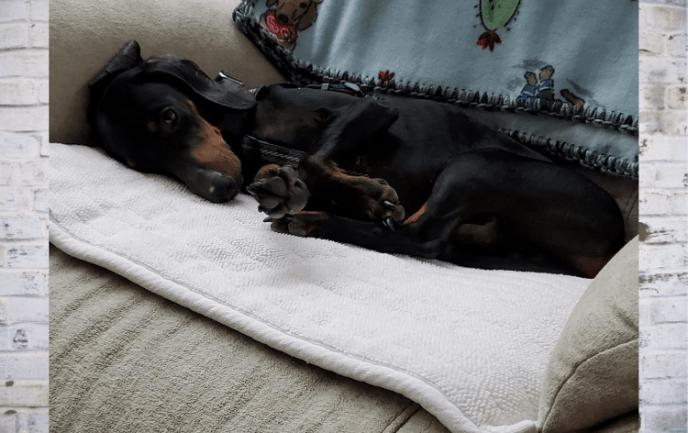 adoptable dachshund mix shadow