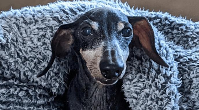 Adoptable Dachshund Oscar