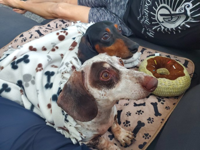 Adoptable Dachshunds Joey and Riley