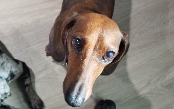 adoptable dachshund Mira