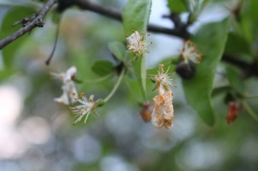 Fertilized apple blossoms.