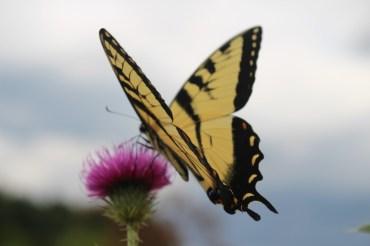 ButterflyBack