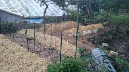 The completed cucumber beds (foreground) and tomatoes (background).