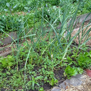 Garlic and celery doing well near one another.