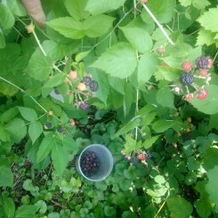 Raspberries on the cane.