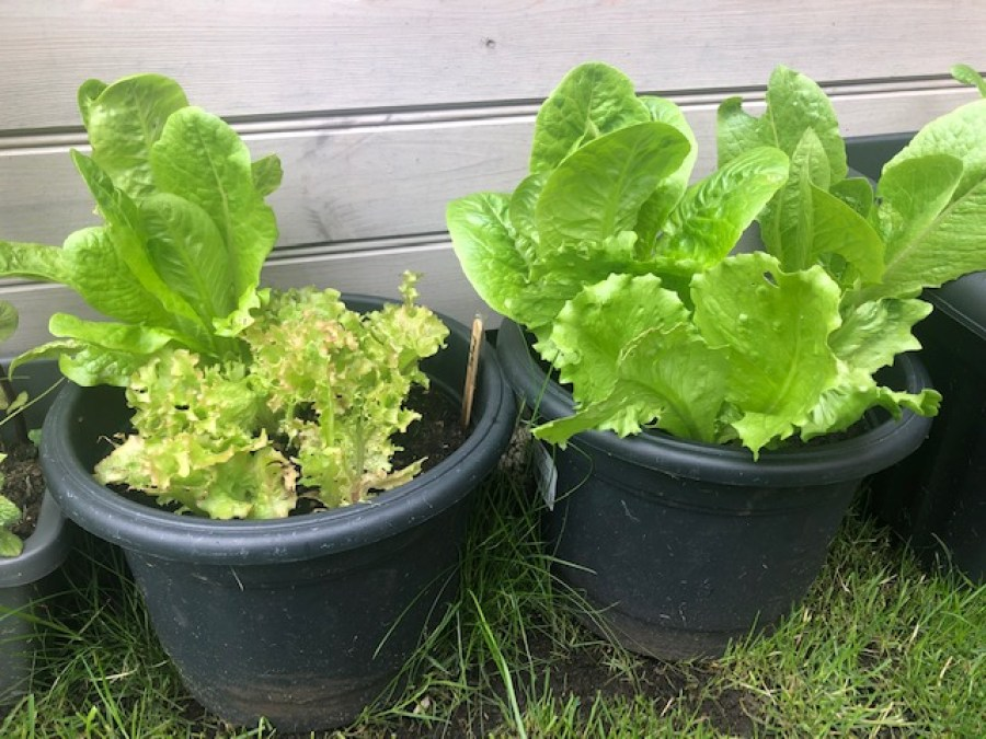 Two small containers of salad leaves growing in a garden