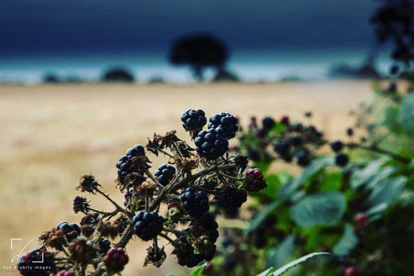 Daniel Carty's image of blackberries growing in early Autumn at Highfield Farm Lowton