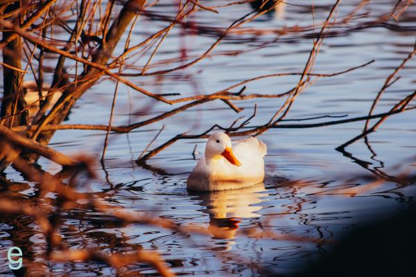Emma Golpys photo of a duck on Pennington Flash
