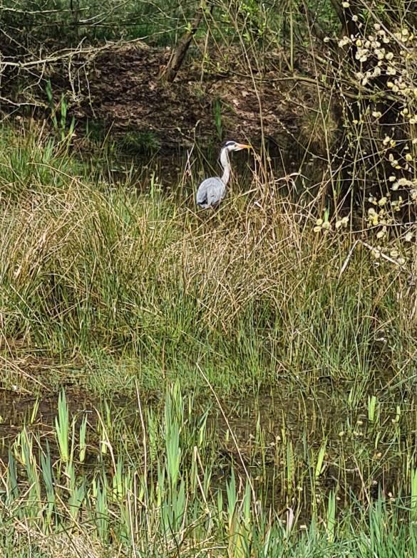Heron spotted near a pond