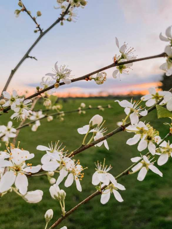 White spring blossom photographed by Lisa Hodson in fields off Sandy Lane, Lowton