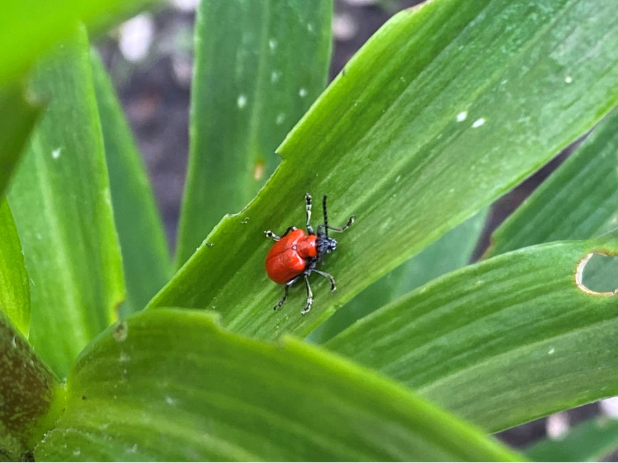 red lily beetle on the green lily leaves