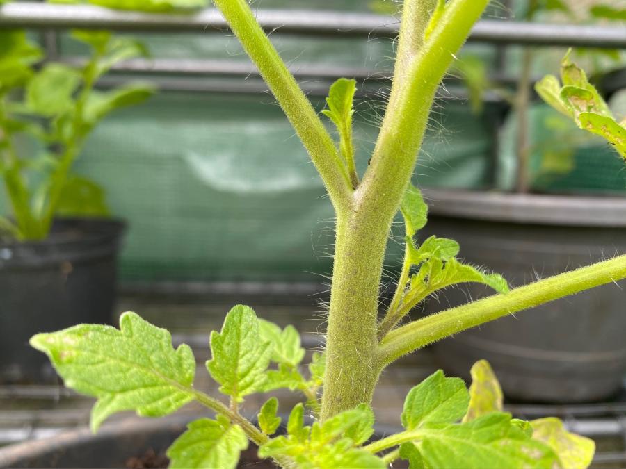 Closeup of sideshoots on a young tomato plant