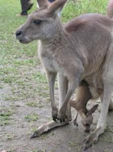 Australia Zoo kangaroo joey