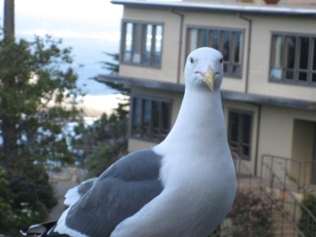 Seagull on the balcony at Carmel Hyatt Highlands Inn