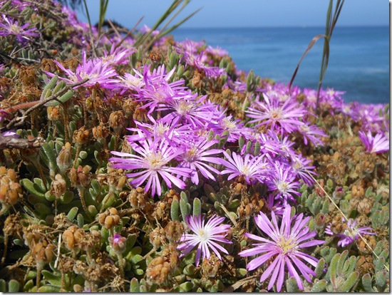 Pacific Grove iceplant 040