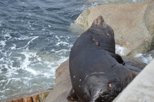 Scarred sea lion.