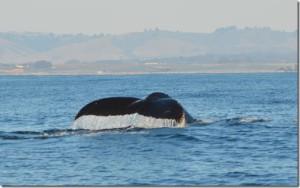 Whale-Tail-2-CU_thumb.jpg