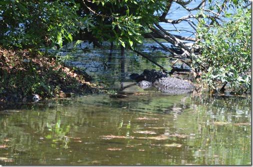 Alligator-1