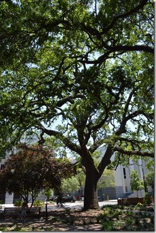 Telfair Square tree