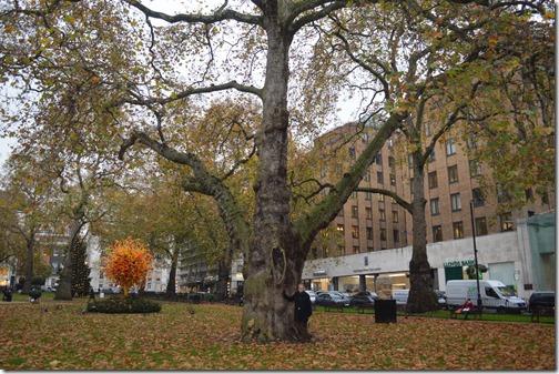 Berkeley Square tree