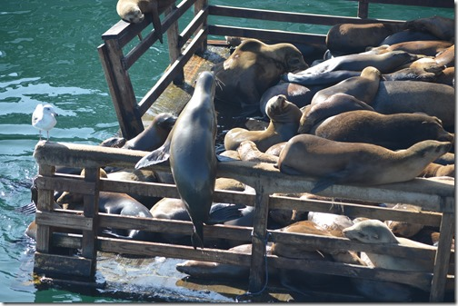 Sea lion climber