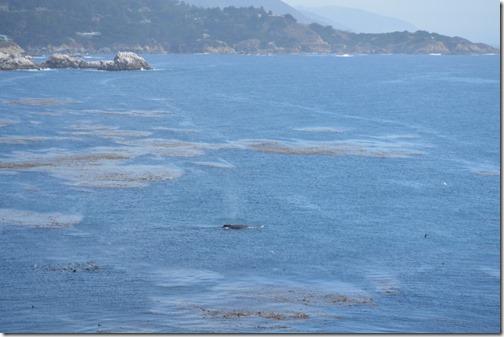 humpback-2 pt lobos