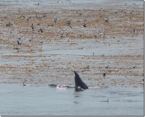 humpback feeding
