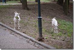 Goats Spilberk Park