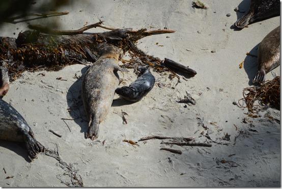 Seal pup feeding